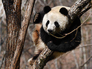 Giant pandas play in Foping County, NW China