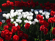 In pics: blooming tulips seen at Altinpark in Turkey