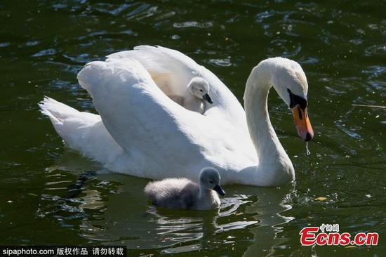 Adorable swan cygnet riding on the back of mother