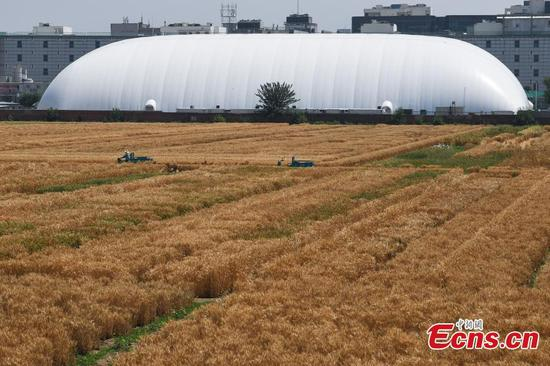 Harvest time at 'most luxurious farmland' in downtown Beijing