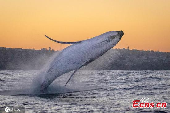 In pics: Magical moment humpbacks frolic in Sydney Harbour